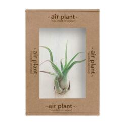 AIR-005-air_plant_caput_medusae-boxed_500x500