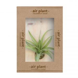 Air Plant Tillandsia Multifloral