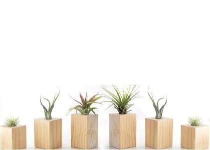 Air Plants on Wood Blocks