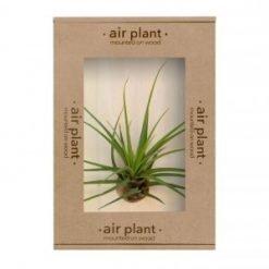 Melanocrater Air Plant