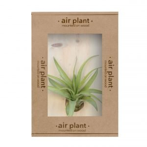 Tillandsia Multiflora Air Plant